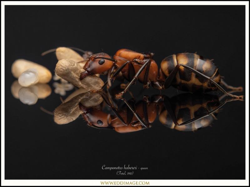 Camponotus-habereri-queen-1-Forel-1911