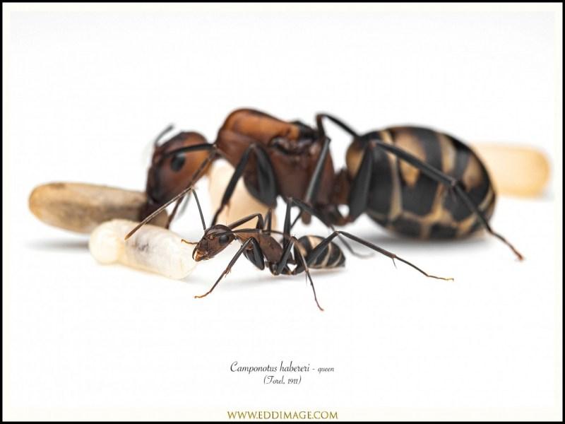 Camponotus-habereri-queen-10-Forel-1911