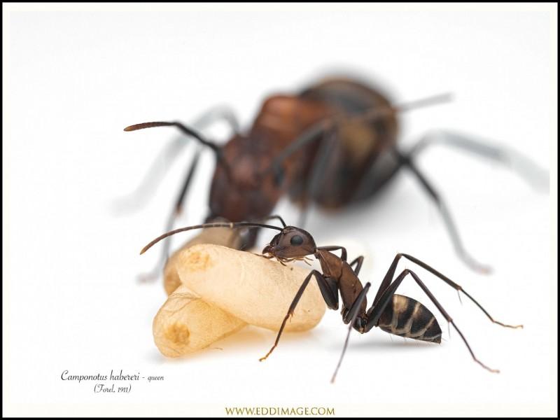 Camponotus-habereri-queen-11-Forel-1911