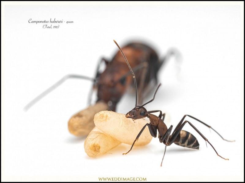 Camponotus-habereri-queen-12-Forel-1911