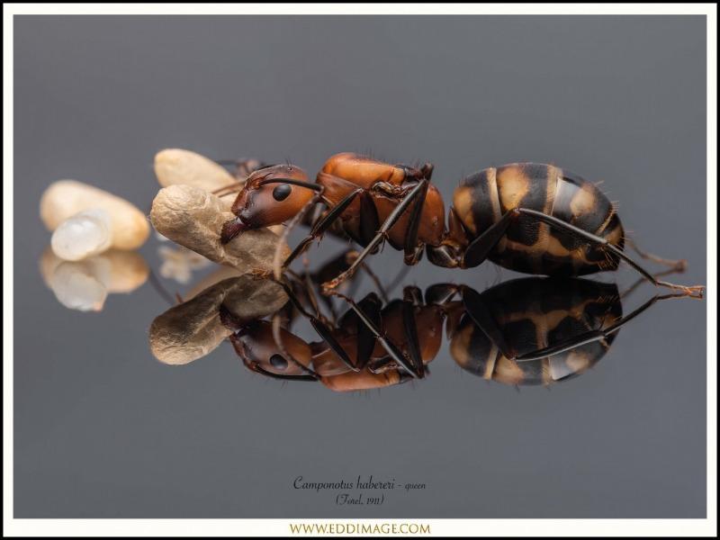 Camponotus-habereri-queen-2-Forel-1911