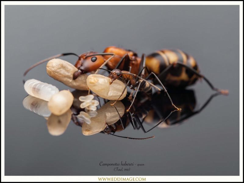 Camponotus-habereri-queen-3-Forel-1911