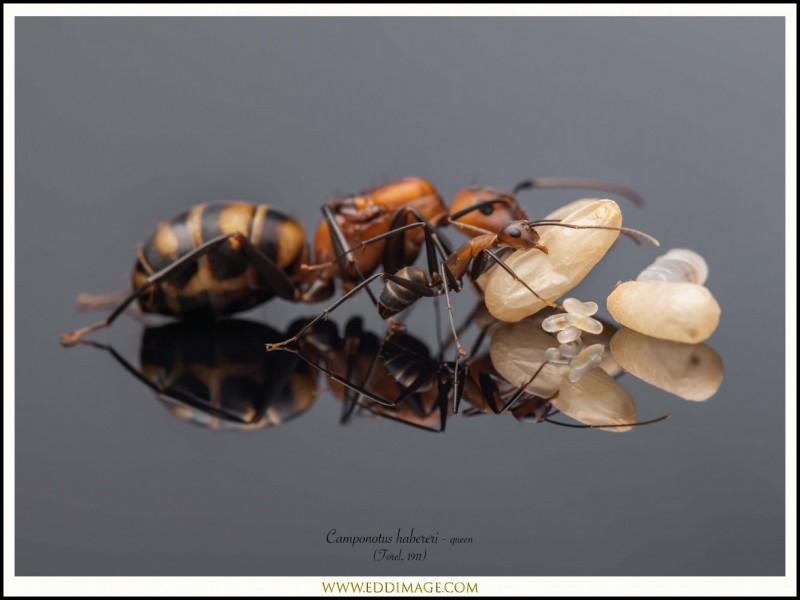 Camponotus-habereri-queen-4-Forel-1911