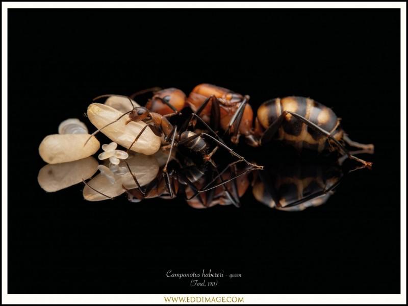 Camponotus-habereri-queen-5-Forel-1911