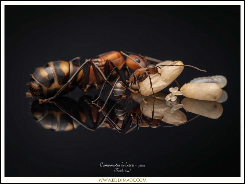 Camponotus-habereri-queen-6-Forel-1911