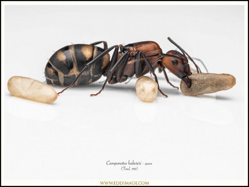 Camponotus-habereri-queen-8-Forel-1911