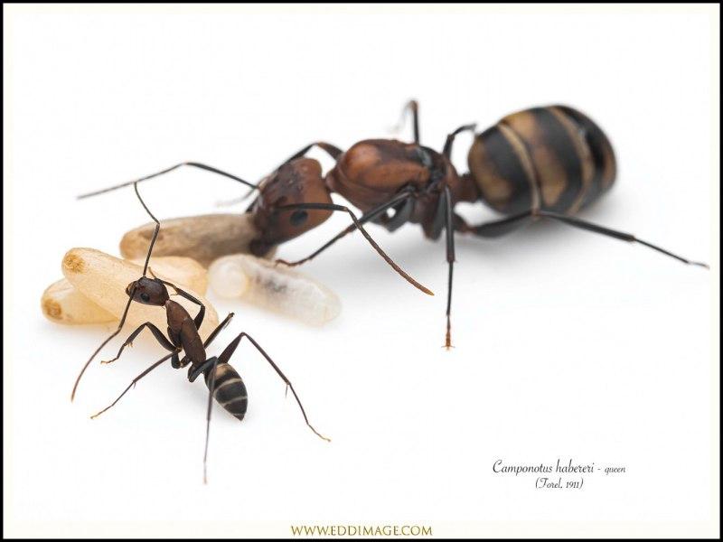 Camponotus-habereri-queen-9-Forel-1911