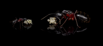 Camponotus-herculeanus worker and queen
