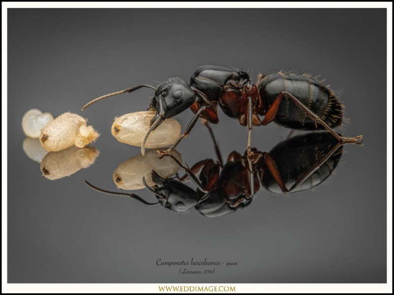 Camponotus-herculeanus-queen-1-Linnaeus-1758