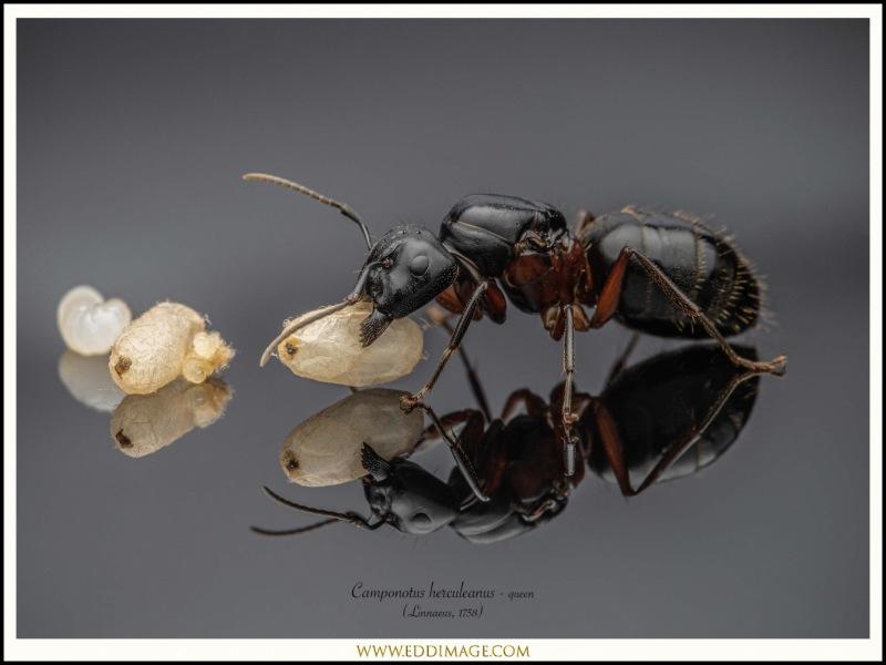 Camponotus-herculeanus-queen-2-Linnaeus-1758