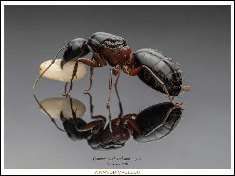Camponotus-herculeanus-queen-3-Linnaeus-1758