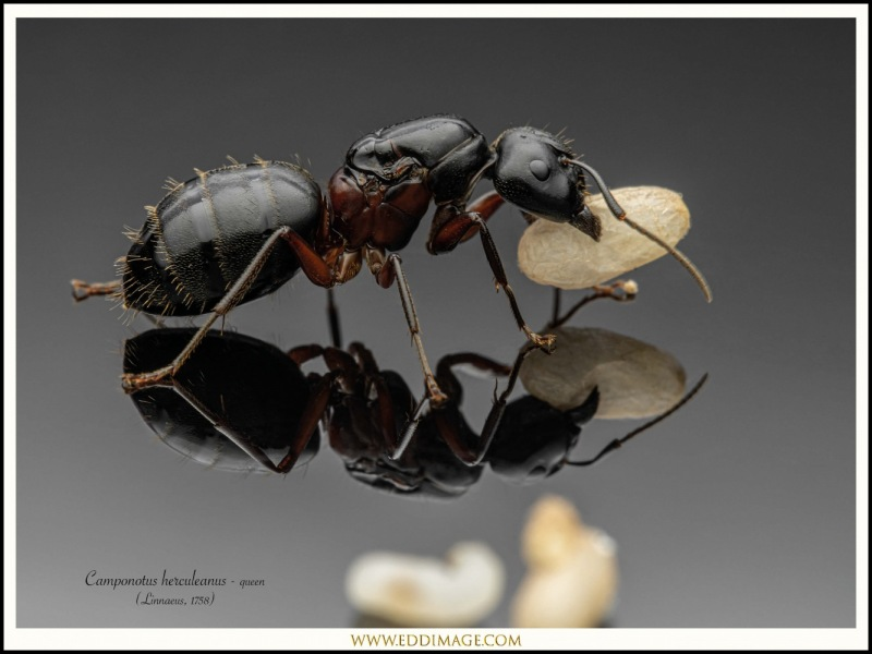 Camponotus-herculeanus-queen-4-Linnaeus-1758