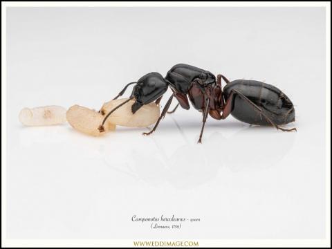Camponotus-herculeanus-queen-5-Linnaeus-1758