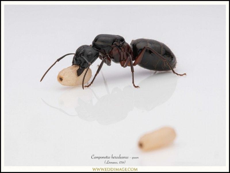 Camponotus-herculeanus-queen-7-Linnaeus-1758