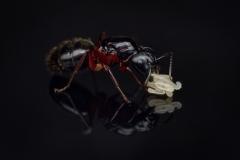 Camponotus herculeanus  queen