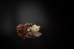 Camponotus herculeanus  worker