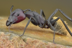 Camponotus-hybrid-South-Africa3
