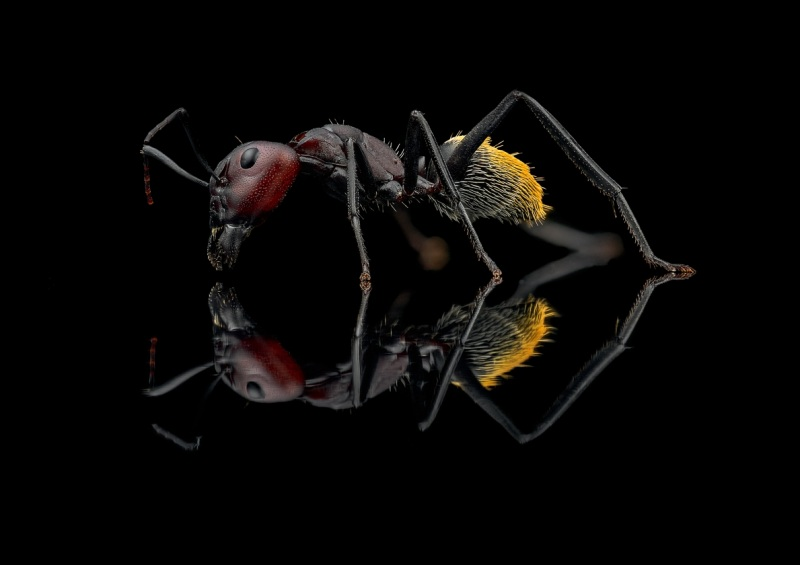 Camponotus-hybrid-South-Africa6