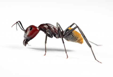Camponotus-hybrid-South-Africa7