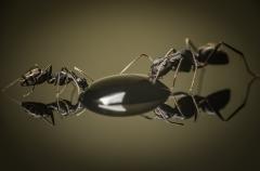 Camponotus-japonicus-Japan-10