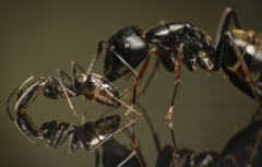 Camponotus-japonicus-Japan-14