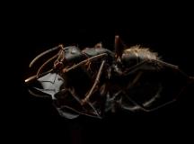 Camponotus-japonicus-Japan-4