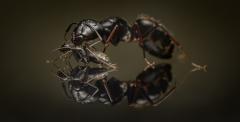 Camponotus-japonicus-Japan-8