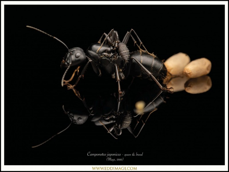 Camponotus-japonicus-queen-brood-Mayr-1866