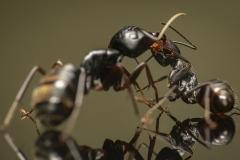 Camponotus-japonicus-Japan-15