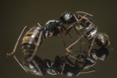 Camponotus-japonicus-Japan-16