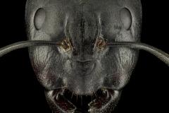 Camponotus-japonicus-Japan-queen