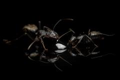 Camponotus-japonicus-Japan-7