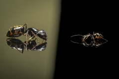 Camponotus-japonicus-Japan