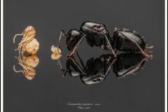Camponotus-japonicus-queen-3-Mayr-1866