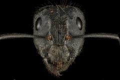Camponotus-laconicus-Greece-2