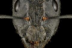 Camponotus-laconicus-Greece