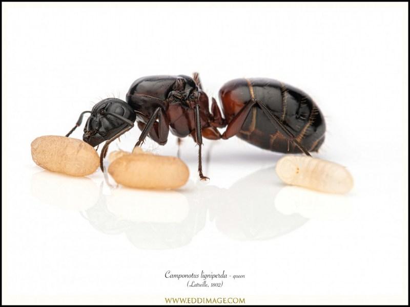Camponotus-ligniperda-queen-1-Latreille-1802