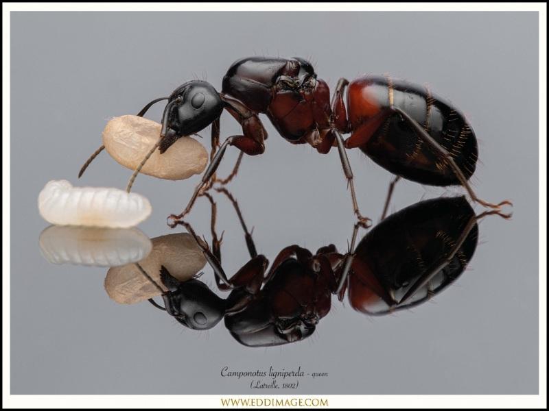 Camponotus-ligniperda-queen-10-Latreille-1802
