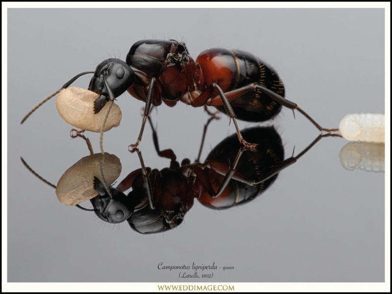 Camponotus-ligniperda-queen-11-Latreille-1802