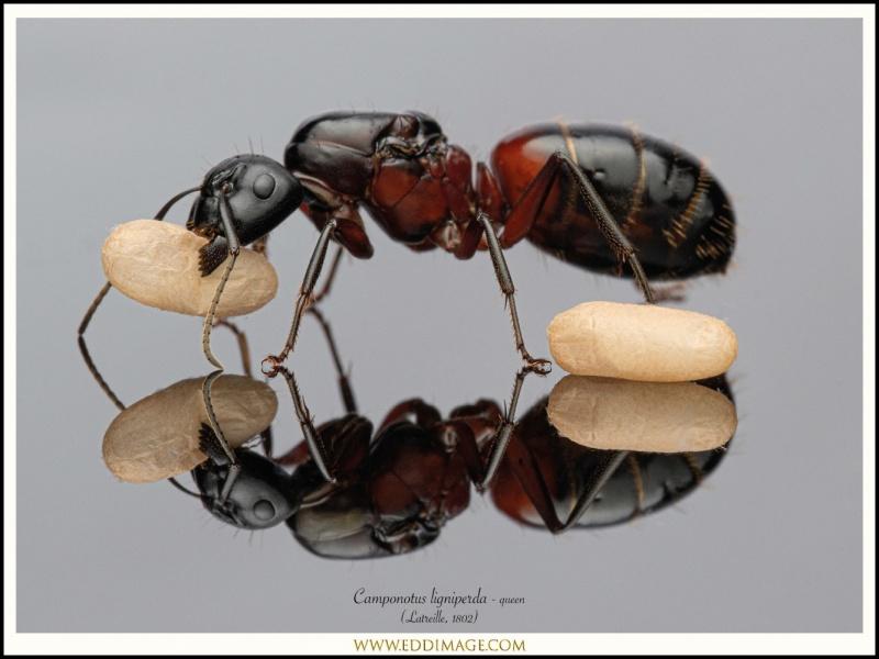 Camponotus-ligniperda-queen-12-Latreille-1802