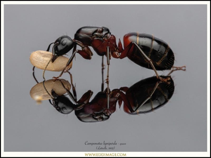 Camponotus-ligniperda-queen-14-Latreille-1802