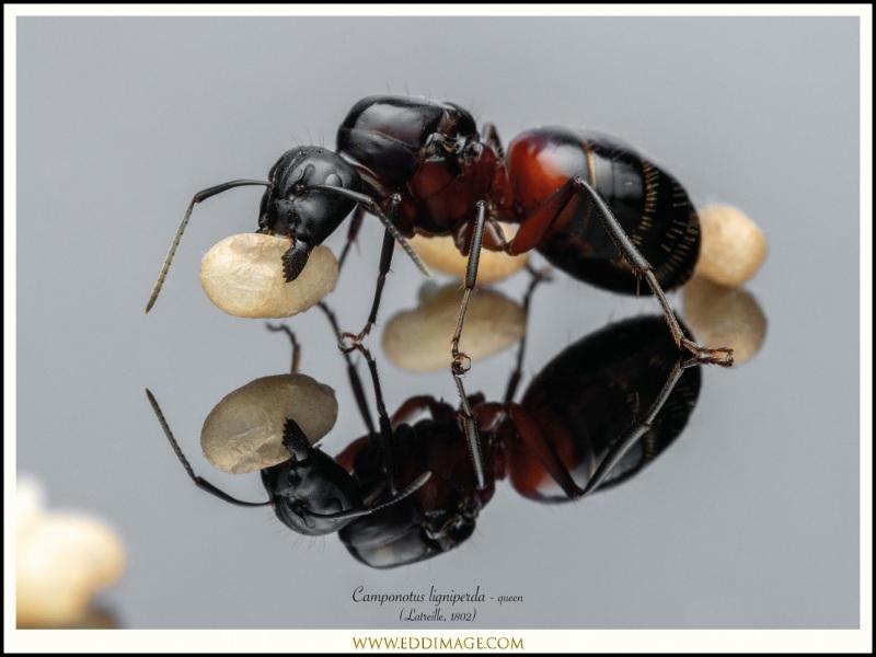 Camponotus-ligniperda-queen-15-Latreille-1802
