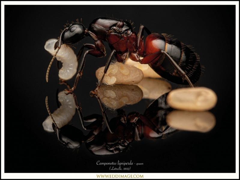 Camponotus-ligniperda-queen-17-Latreille-1802