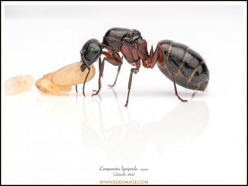 Camponotus-ligniperda-queen-2-Latreille-1802
