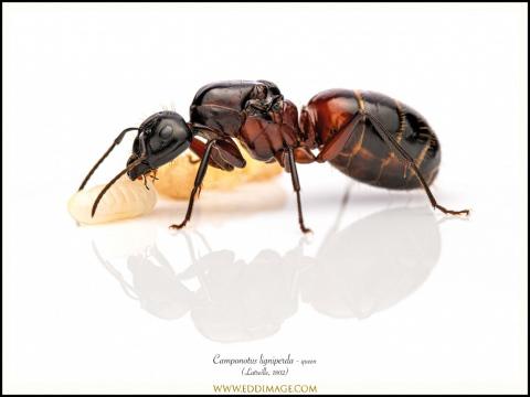 Camponotus-ligniperda-queen-3-Latreille-1802