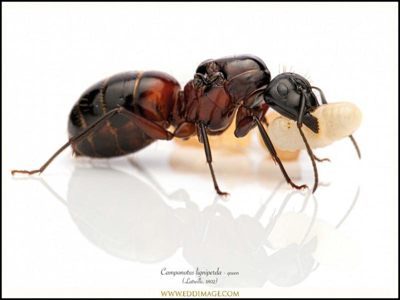Camponotus-ligniperda-queen-4-Latreille-1802