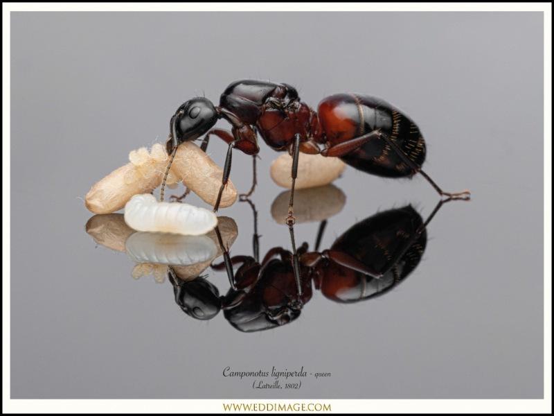 Camponotus-ligniperda-queen-5-Latreille-1802