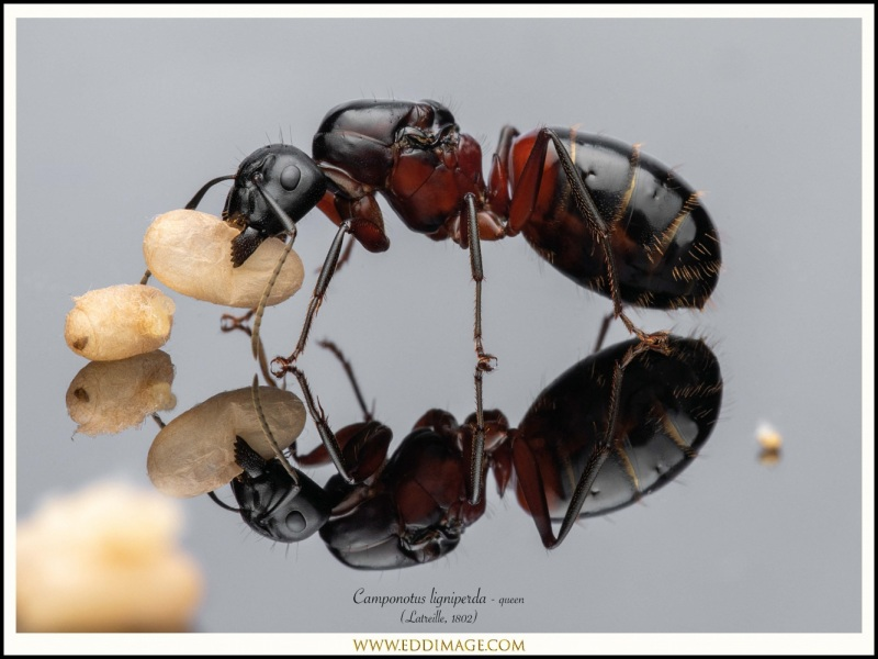 Camponotus-ligniperda-queen-8-Latreille-1802