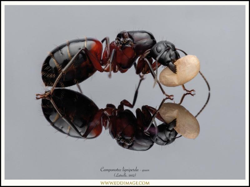 Camponotus-ligniperda-queen-9-Latreille-1802