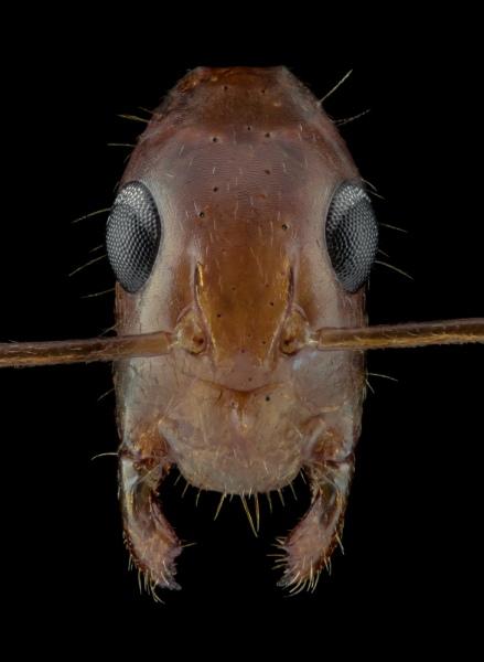 1_Camponotus-maculatus-Africa